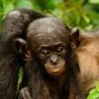 Bonobos Resimleri