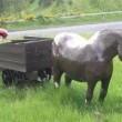 Pit Pony Resimleri