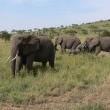 Wildlife In Serengeti Resimleri