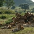 Afrika Kedileri Resimleri