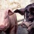 Hayvan Çiftliği Resimleri